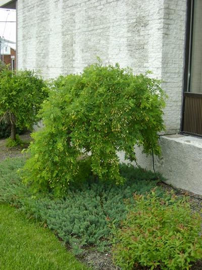 caragana pleureur plantations univert. Black Bedroom Furniture Sets. Home Design Ideas