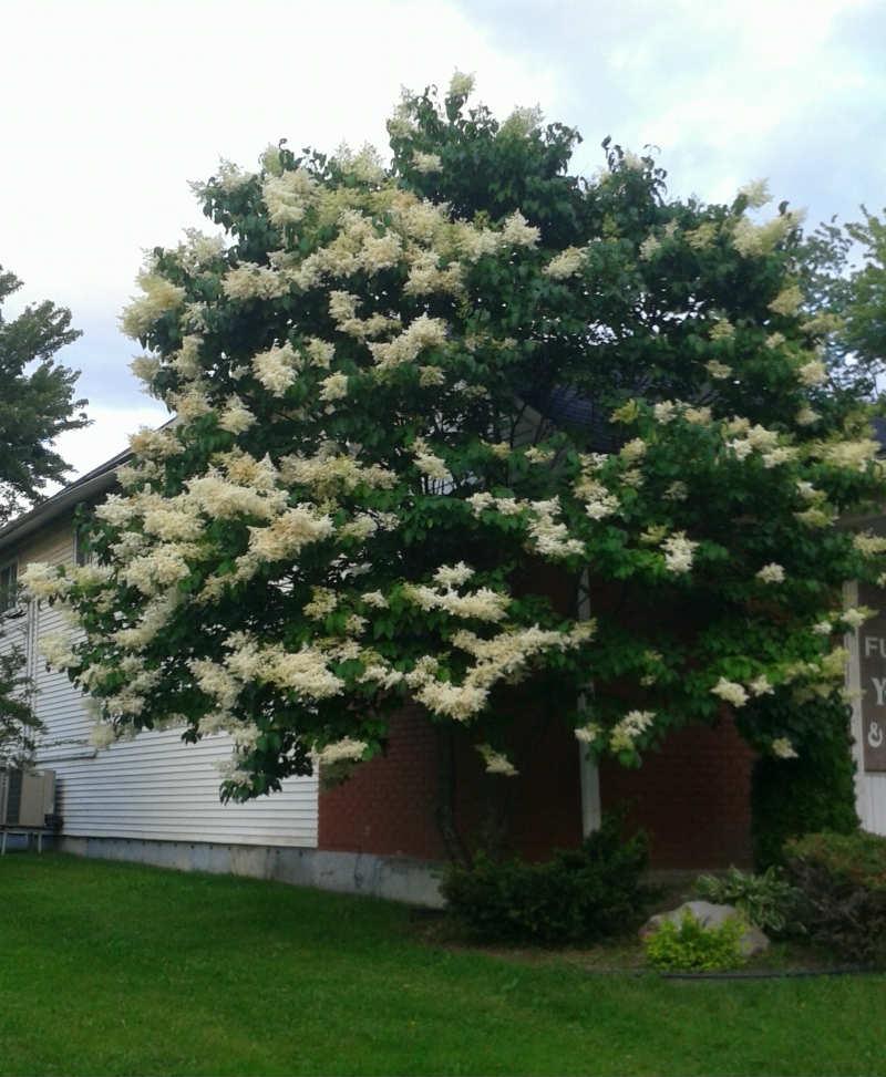 lilas japonais plantations univert. Black Bedroom Furniture Sets. Home Design Ideas