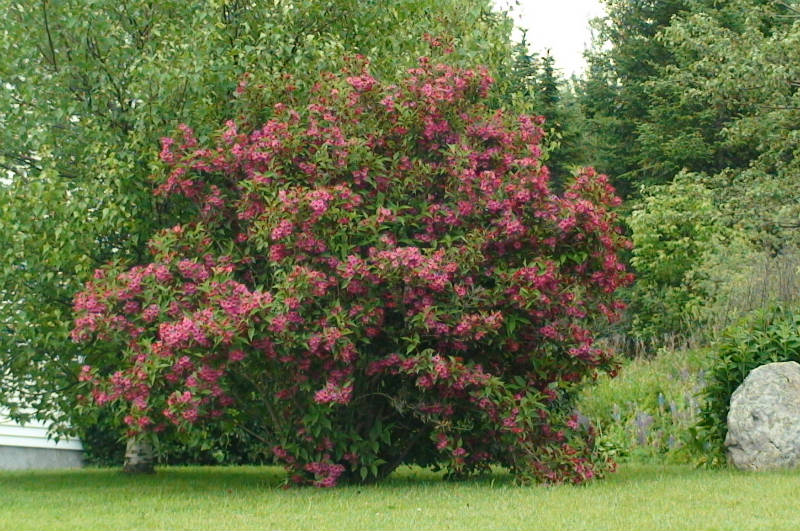 weigela pink princess plantations univert. Black Bedroom Furniture Sets. Home Design Ideas