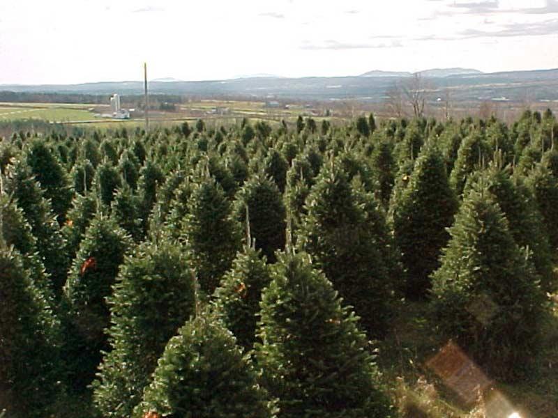 Sapin de Noël - Plantations Univert, Bonsecours, Estrie