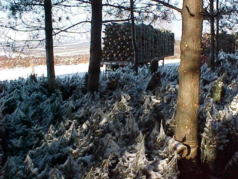 Arbres de Noël entrepôts - Plantations Univert
