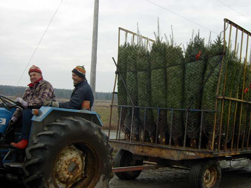 Arbres de Noël, transport vers l'entrepôt - Plantations Univert