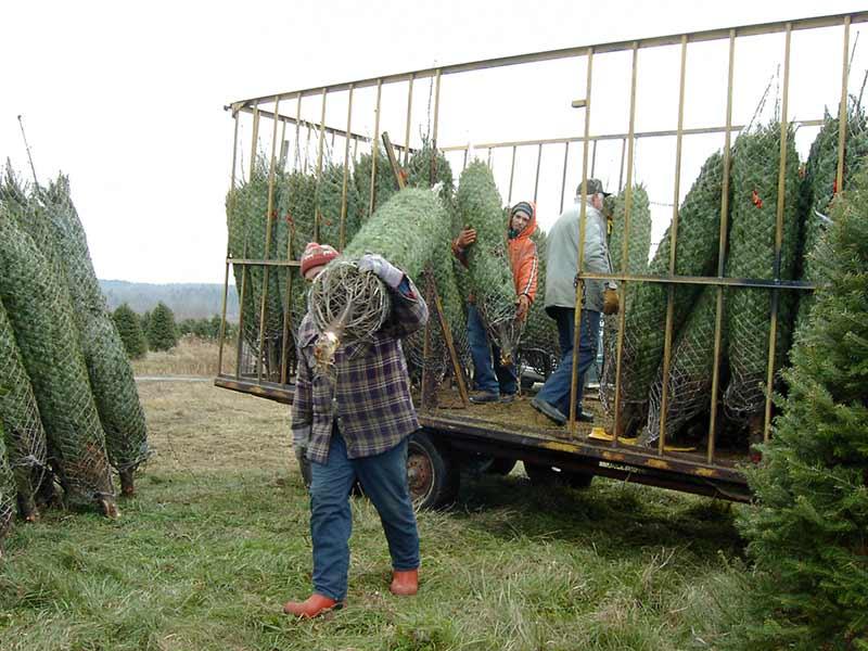 Sapins de Noël, transport vers l'entrepôt - Plantations Univert