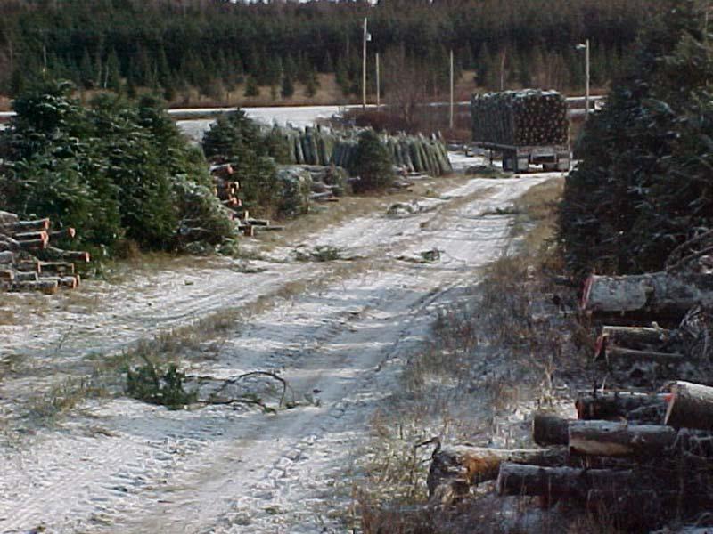 Chargement sapins de Noël dans le camion - Plantations Univert