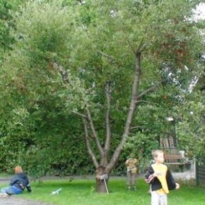 Cerisier montmorency 2
