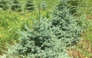 Plantations d'automne - Épinette Meyeri - Plantations Univert - Estrie