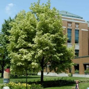Acer platanoides Drummondii - Plantations Univert