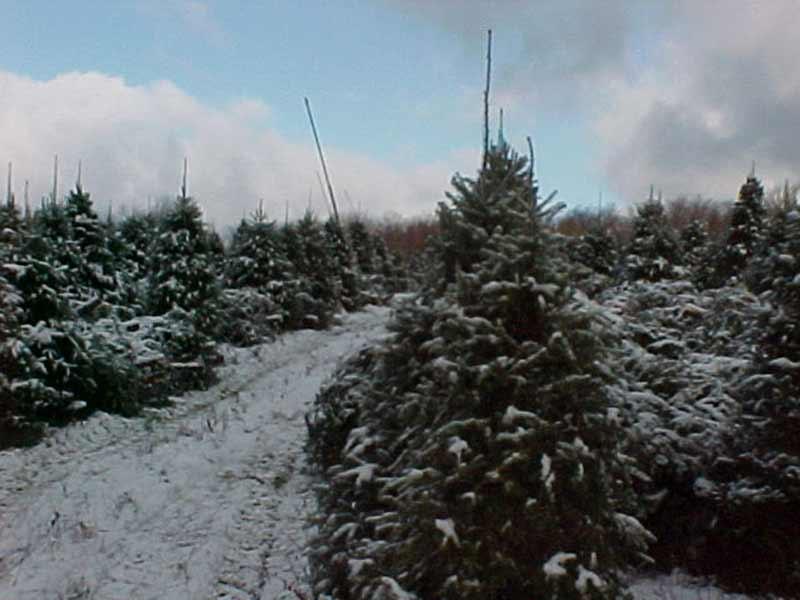 la coupe sapin de Noël - Plantations Univert