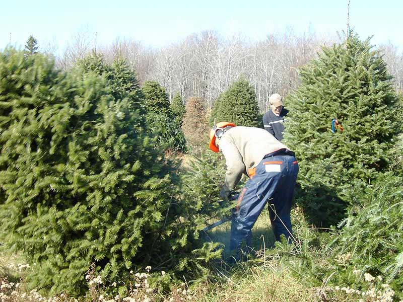 Coupe d'un arbre de Noël - Plantations Univert