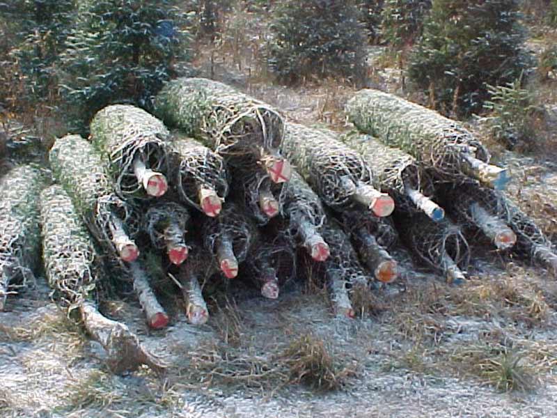 Sapins de Noël emballés - Plantations Univert