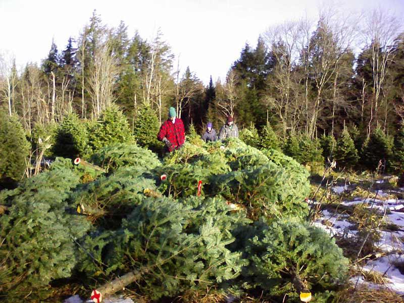 Tirer les sapins de Noël au bord des chemins - Plantations Univert