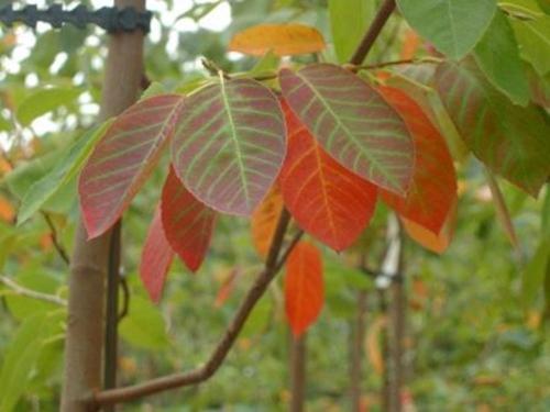 """Amélanchier """"Autumn Brillance"""" - Plantations Univert"""