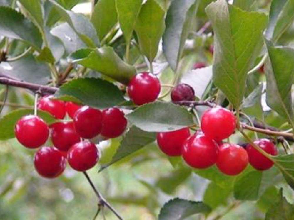 Prunus cerasus Montmorency