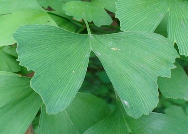 Ginkgo biloba - Plantations Univert