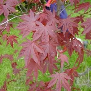 Acer paltamum Bloodgood