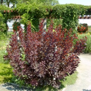 Cotinus pourpre royal 1