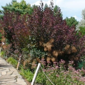 Cotinus pourpre royal 2