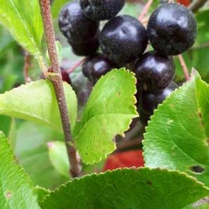 Fruit de l'aronie