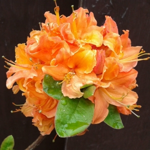 Azalée mandarin