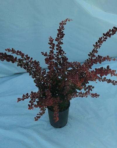 Berberis rose glow 2
