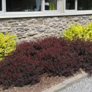 Berberis royal burgundy 1