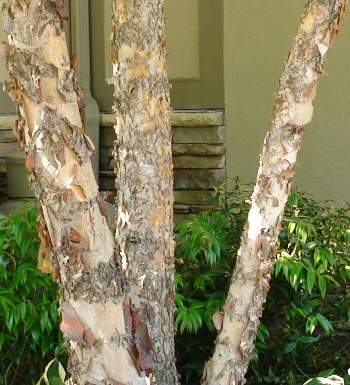 Betula nigra héritage