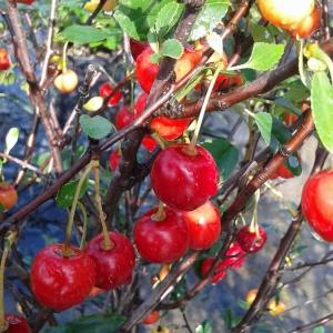 Prunus cerasus Julliet