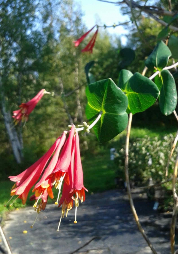 Lonicera Major Wheeler