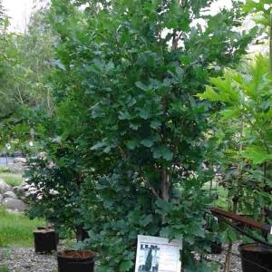 Quercus fastigiata