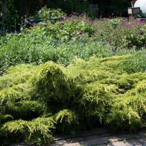 Juniperus Gold Lace