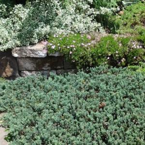 Juniperus Ice Blue