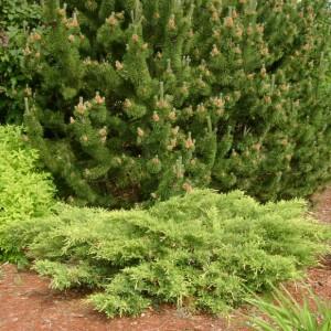 Juniperus Goldstar