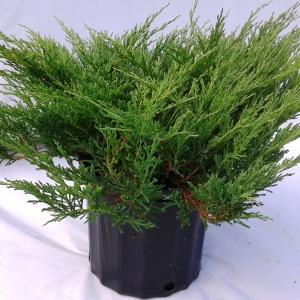 Juniperus andora compacta