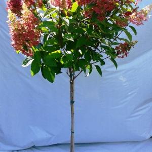 Hydrangea pinky winky sur tige