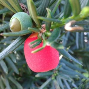 Taxus cupidata capitata
