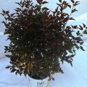 Physocarpus Summerwine