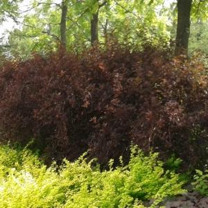 Physocarpus coppertina 2