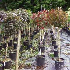 Physocarpus sur tige