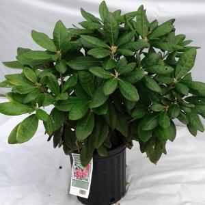 Rhododendron Helikki