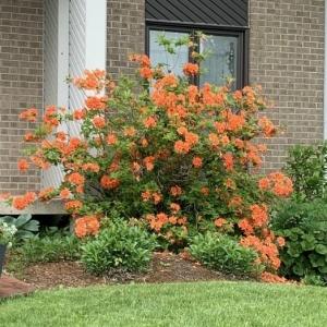 Azalea mandarin