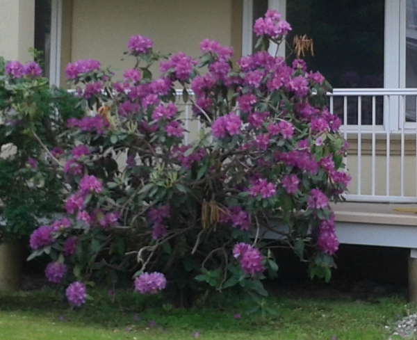 Rhododendron P.J.M. 2