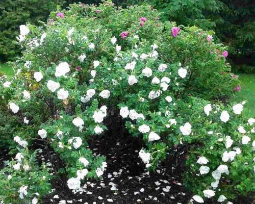 rosier blanc double de Coubert