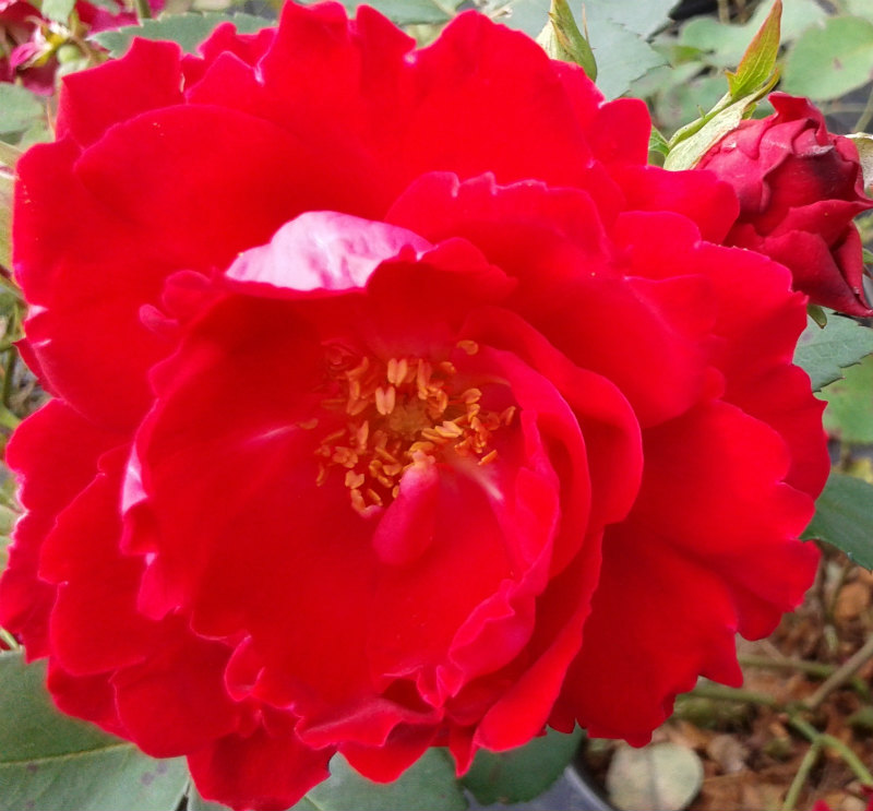 Rosa Champlain