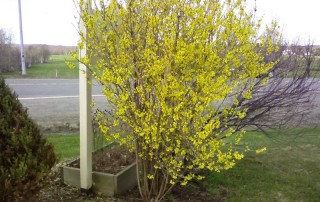Forsythia Norhern Gold