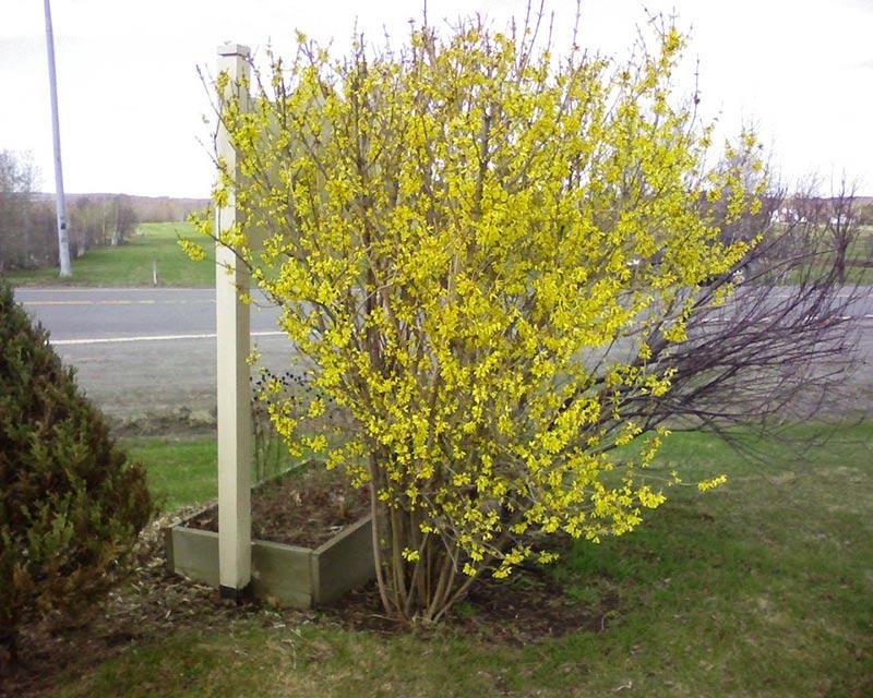Le Forsythia annonce l'arrivée du printemps