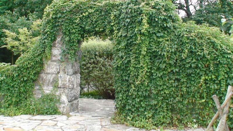 parthenocissus quinquefolia engelmannii