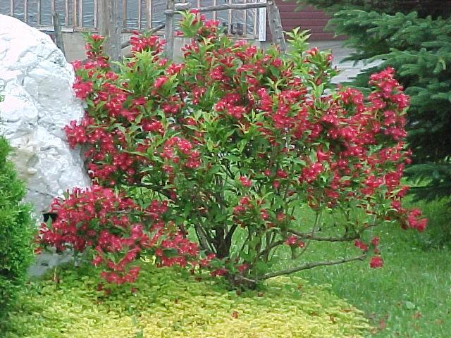 les weigelas floraison abondante plante vedette plantations univert. Black Bedroom Furniture Sets. Home Design Ideas