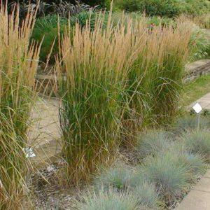 Calamagrostide Karl Foerster Karl Foerster - Feather Reed Grass